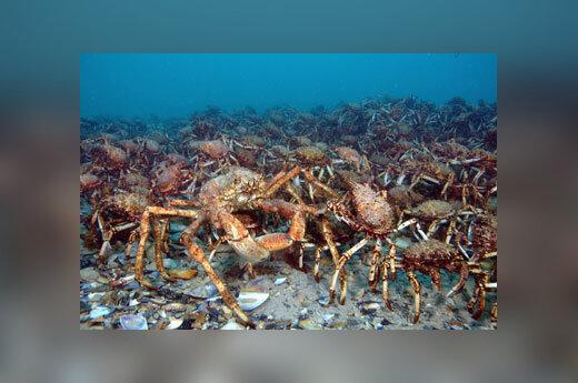 Prie Australijos krantų po vandeniu susispietė tūkstančiai krabų.
