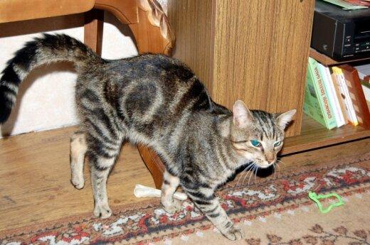 Neįprasto grožio katinukas Bengas ieško namų