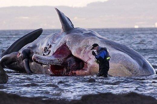В Шотландии на пляже нашли гигантскую тушу кита