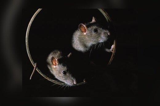 Крысий остров избавили от крыс