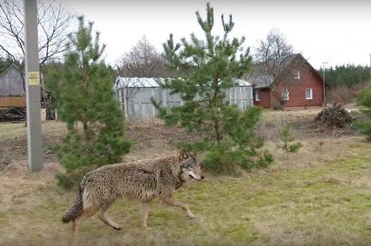 Под Палангой засекли сбежавшего из оленника волка