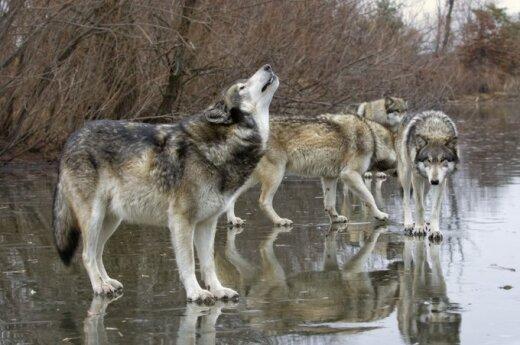 Samorządy będą płaciły za szkody wyrządzone przez wilki