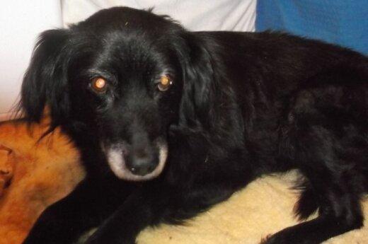 Muštas, skriaustas senučiukas šunytis Laska: reikalinga jūsų pagalba
