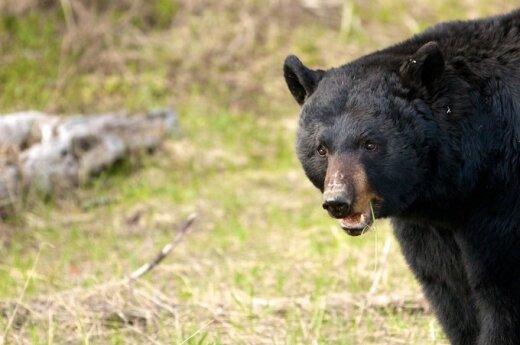 На базе отдыха под Ростовом медведь откусил руку девочке