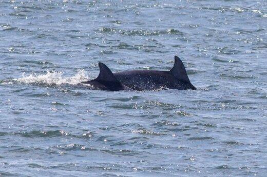 Unikalne zjawisko. Delfiny w morzu Bałtyckim