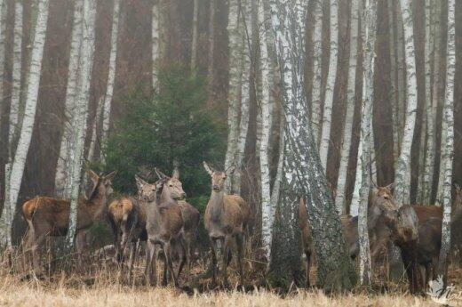 Per rūku apgaubtą mišką keliauja taurieji elniai