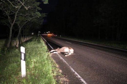 Выбежавший на автостраду лось погубил водителя