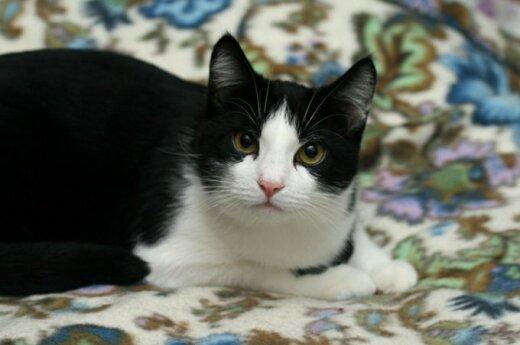 Dingo juodai baltas katinas Mykolas