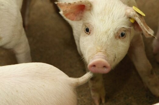 Lithuanian pig farmers sustain almost 9-million-euro losses due to ASF