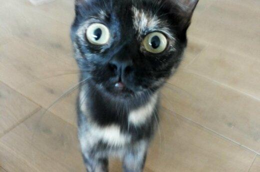 Žavingos katytės Spurga ir Lūšė ieško gerų namų