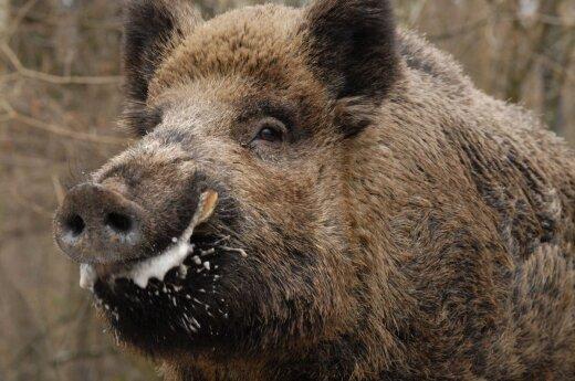 Wspólna walka Polski i krajów bałtyckich o świnie