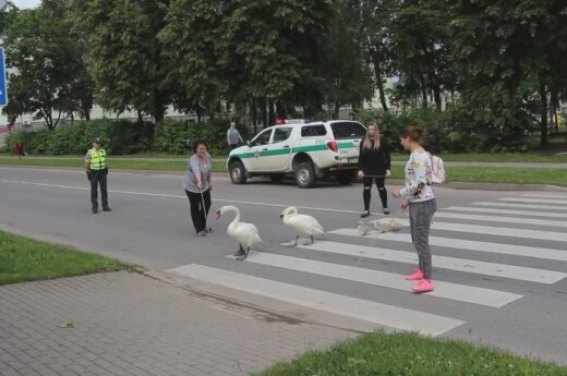 Migruojanti gulbių šeimyna rodo pavyzdį, kaip pereiti gatvę