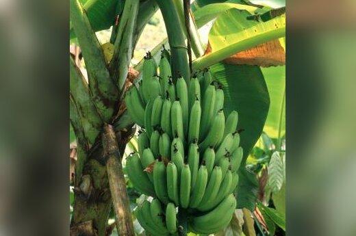 Augantys bananai