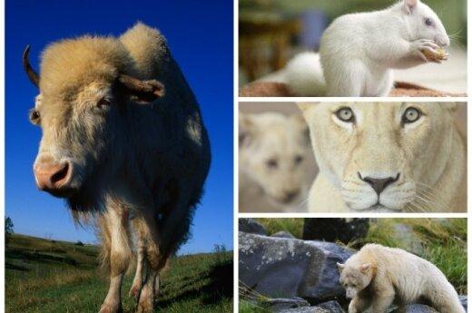 Gyvūnai -albinosai/ OAP nuotr.