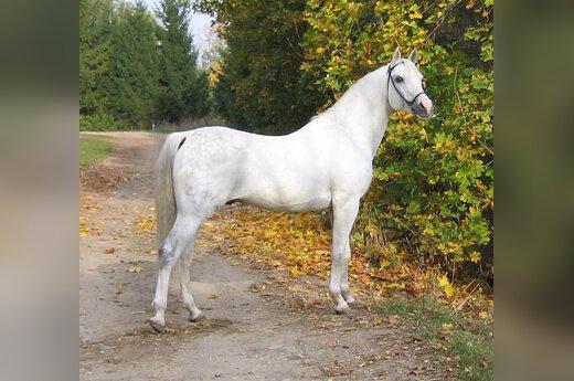 Arklys, žirgas