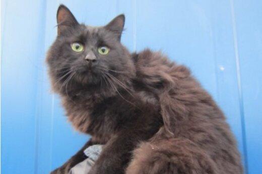 Šopenas - katinas jūsų namų ramybei