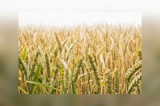 Pasėlių draudimas ūkininkų nevilioja