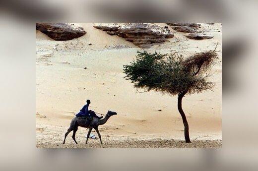 В ОАЭ впервые клонировали верблюда