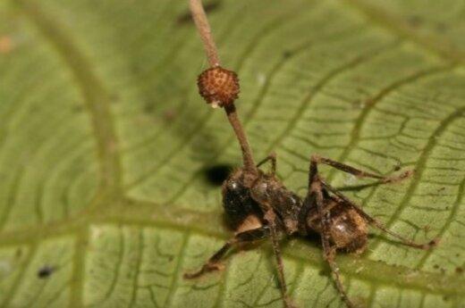 užsikrėtusios skruzdėlės