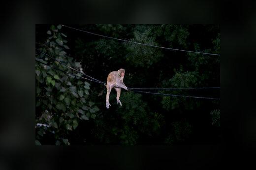 Bezdžionė