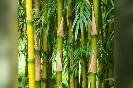 Bambukai