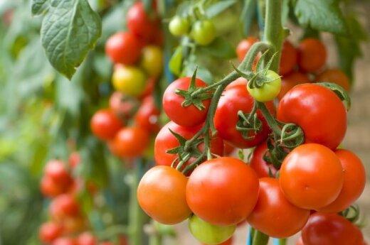 Последствие российских санкций: помидоры по смешным ценам