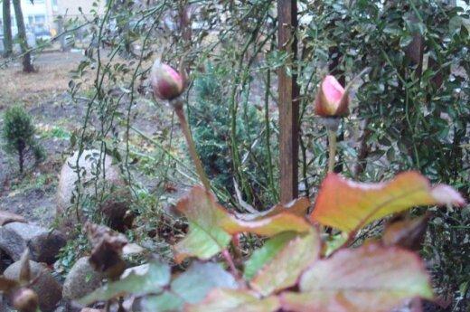Viduržiemis Lietuvoje: sausį žydi gėlės