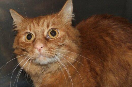 Oranžinis oranžinis katinas Abris