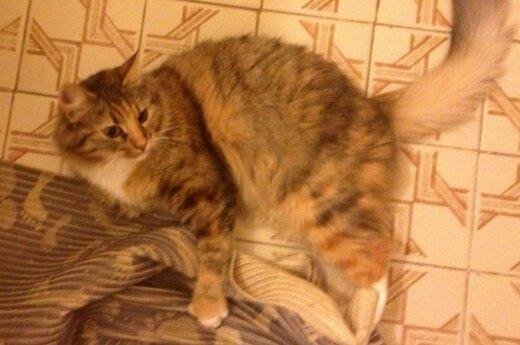 Sterilizuota katytė Ridė ieško naujų namų