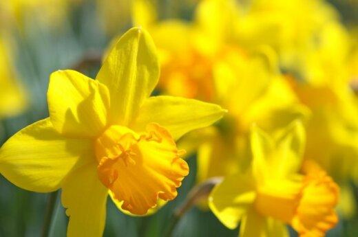 Kaip išgelbėti apšalusius narcizus ir tulpes?