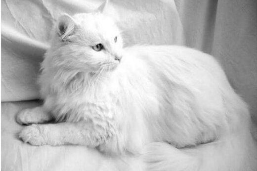 Baltam katinui Vudžiui ieškomi balti namai