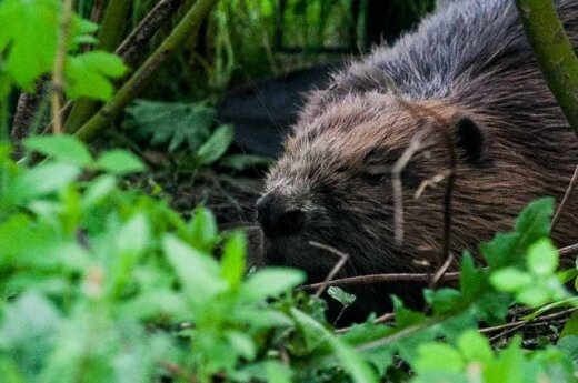 W gimnazjum Jana Pawła II agresywny bóbr zaatakował kota