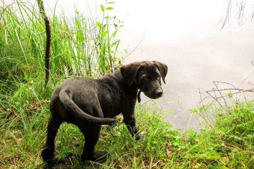 Jaunutis labradoro mišrūnas skubiai ieško namų!