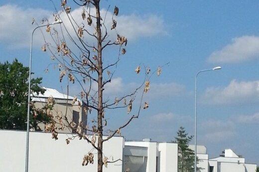 Jaunas ąžuolas - pasmerktas žūčiai