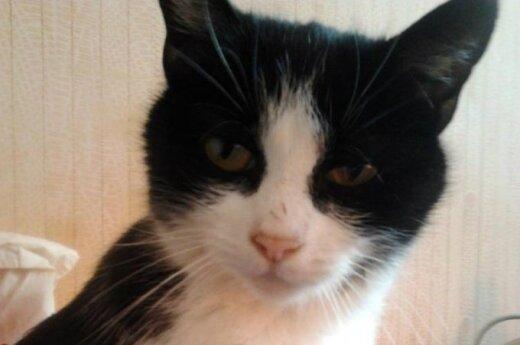 Dovanojama meili sterilizuota katytė Kūzia