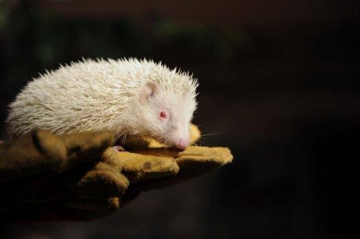 В Сочи нашли ежа-альбиноса
