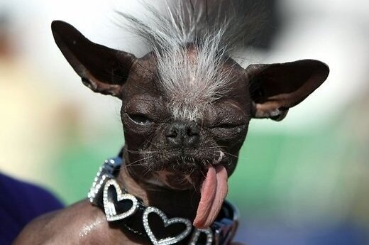 В Нью-Джерси умер Элвуд - самый уродливый пес в мире