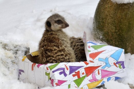 Hanoverio zoologijos sodo surikatos gavo dovanų