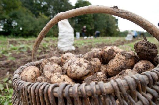 Lietuvoje neišduotas nei vienas leidimas auginti GMO. Patiknimų metu, taip pat jų nerasta