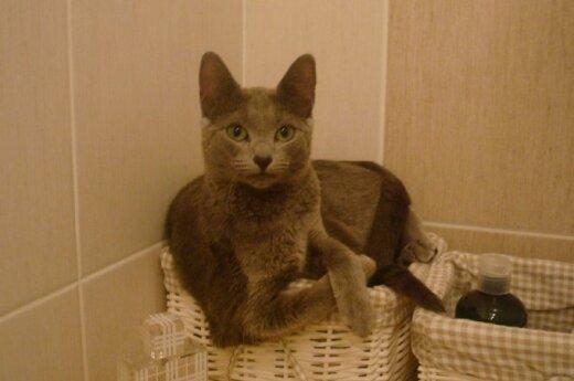 Kaune dingo mylima katytė