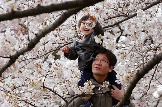 В Японии необычно рано зацвела сакура