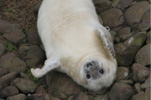 14 dienų pilkojo ruonio jauniklis jau sukaupęs nemažai energijos atsargų. Juk motinos pieno riebumas net 60proc. V. Survilienės nuotr.