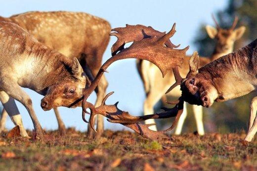 Nuožmios elnių kovos Ričmondo gamtos parke pietvakarių Londone. Mark Bridger nuotr.