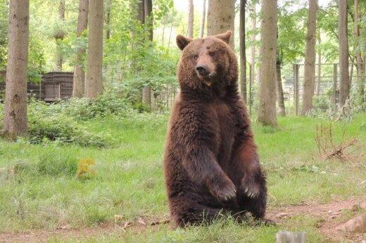 Медведь украл у иркутских дачников борщ