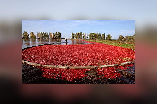 Baltarusijoje renkamas spanguolių derlius.
