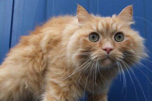 Nepaprasto grožio katinas Narbutas