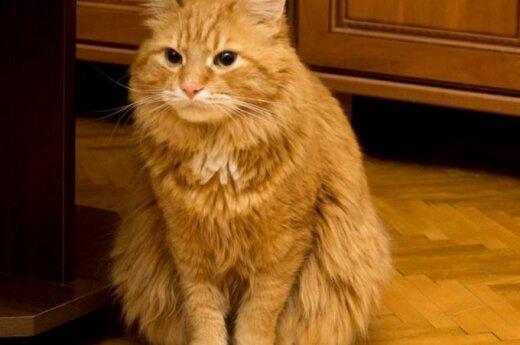 Dovanojamas gražuolis katinas Bonifacijus