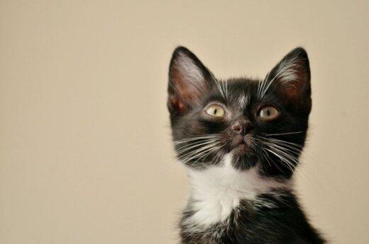 Baltaūsis 2 mėn. kačiukas Neilas ieško namų!