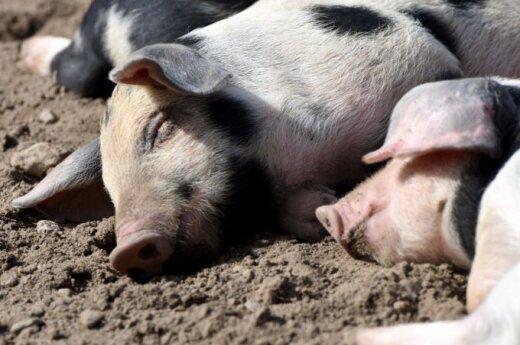 Kiaulių maras – didžiausios Lietuvos kiaulių augintojos fermoje