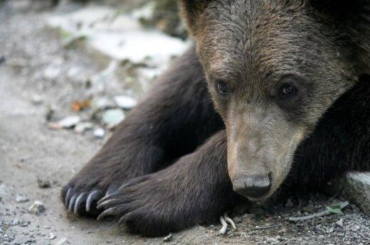 Из-за наступления медведей на Камчатке введен режим повышенной готовности